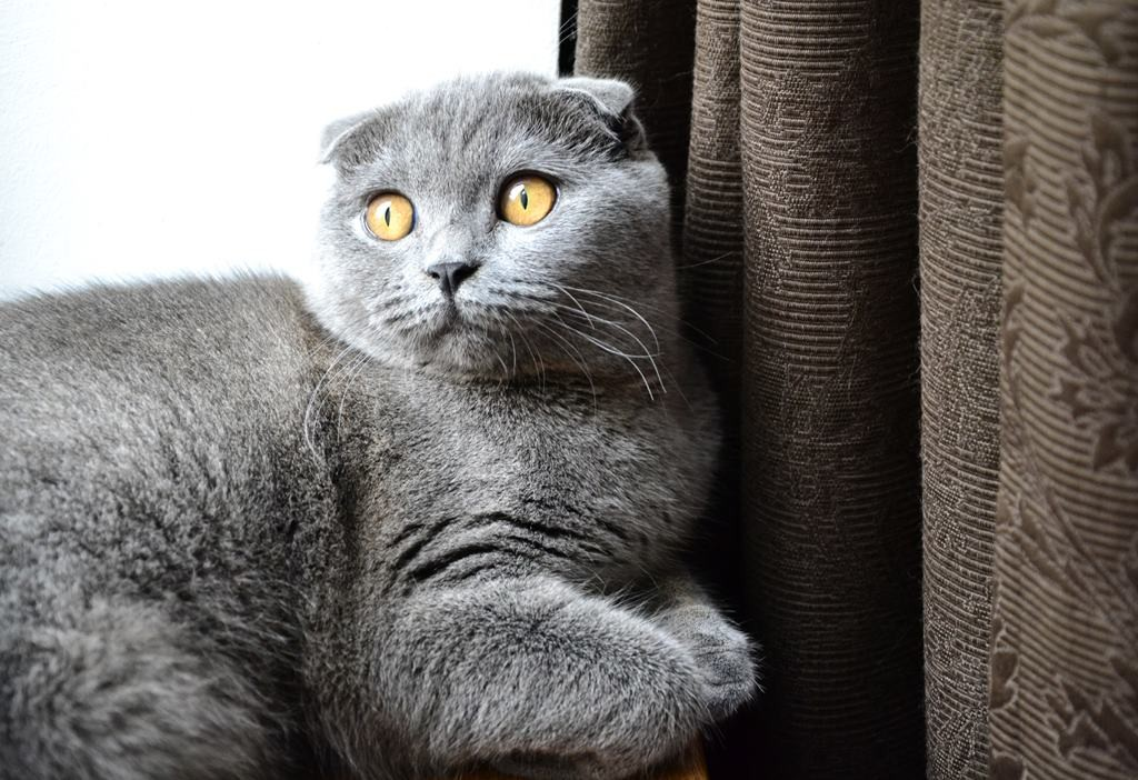 daisy scottish fold