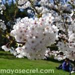 floare-cires-gradina-japoneza