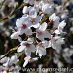 floare-cires-japonez
