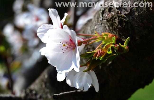 floare-cires-japonez-close-up