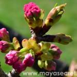 floare-cires-japonez-roz
