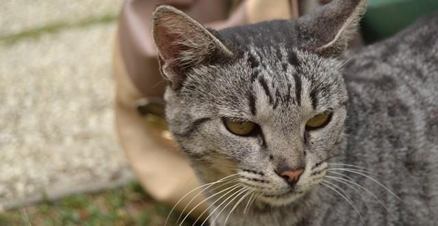 pisica tigrata