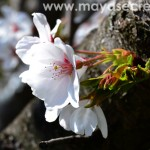 floare-cires-japonez-close-up