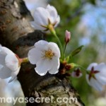 floare-cires-japonez-close-up-2