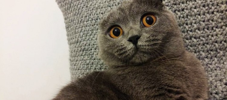 pisica-scottish-fold
